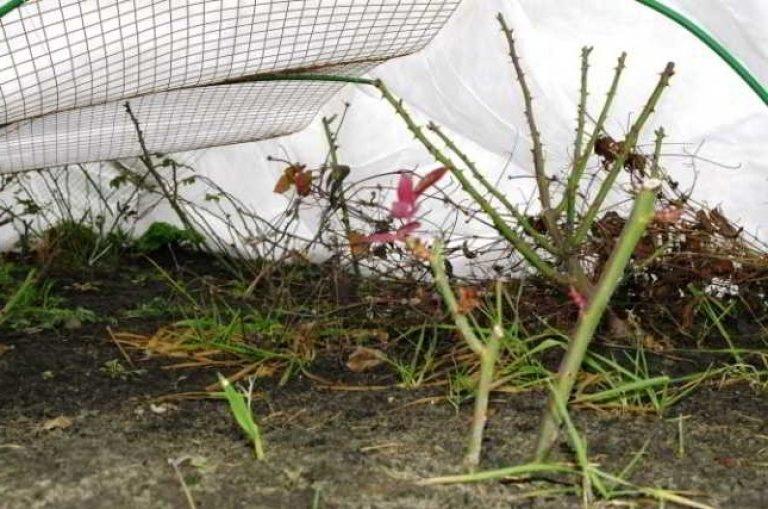 Подготовка пионов к зиме: обрезка, подкормка и укрытие