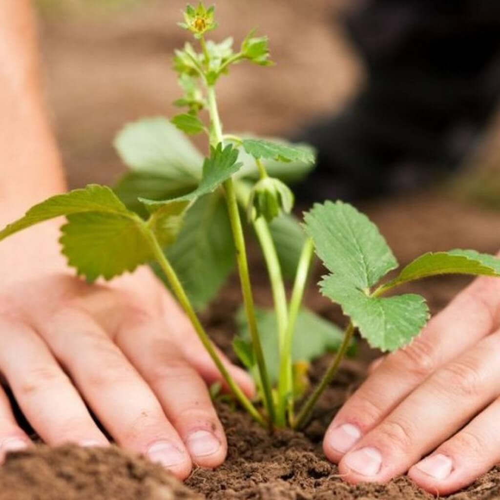 Земляника безусая садовая: посадка, уход, размножение