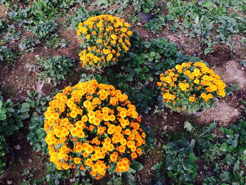 50 фото разных видов и сортов ? хризантемы мультифлоры, посадка и уход