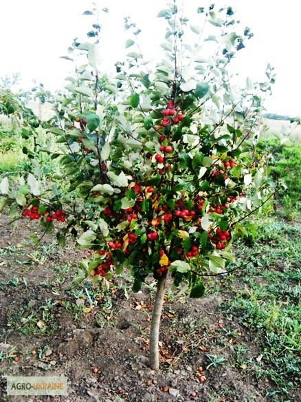 Штамбовые сорта помидоров: что это такое, агротехника выращивания этих томатов, отзывы, фото