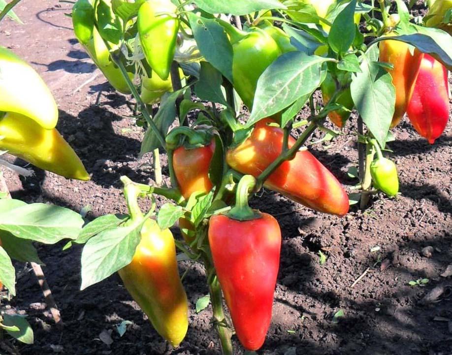 Выращивание перца в открытом грунте на даче