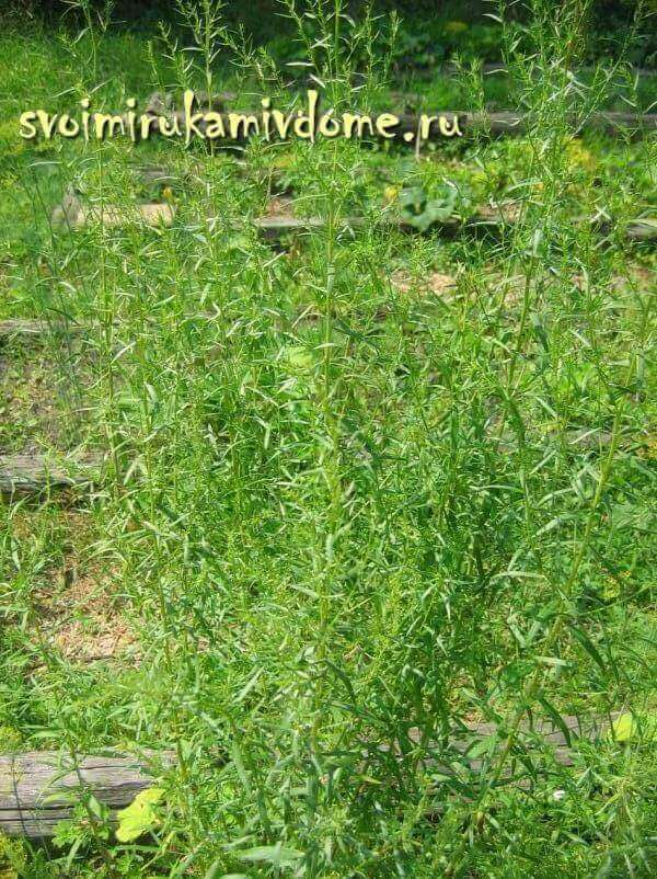 Растение тархун (эстрагон): посадка семенами и другими способами, выращивание этой травы и особенности ухода в открытом грунте