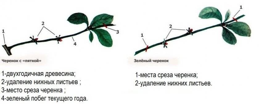 Размножение вишни черенками и косточками: описание, уход и рекомендации