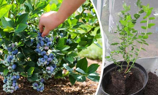 Голубика: посадка и уход, описание выращивания, полезные свойства, фото