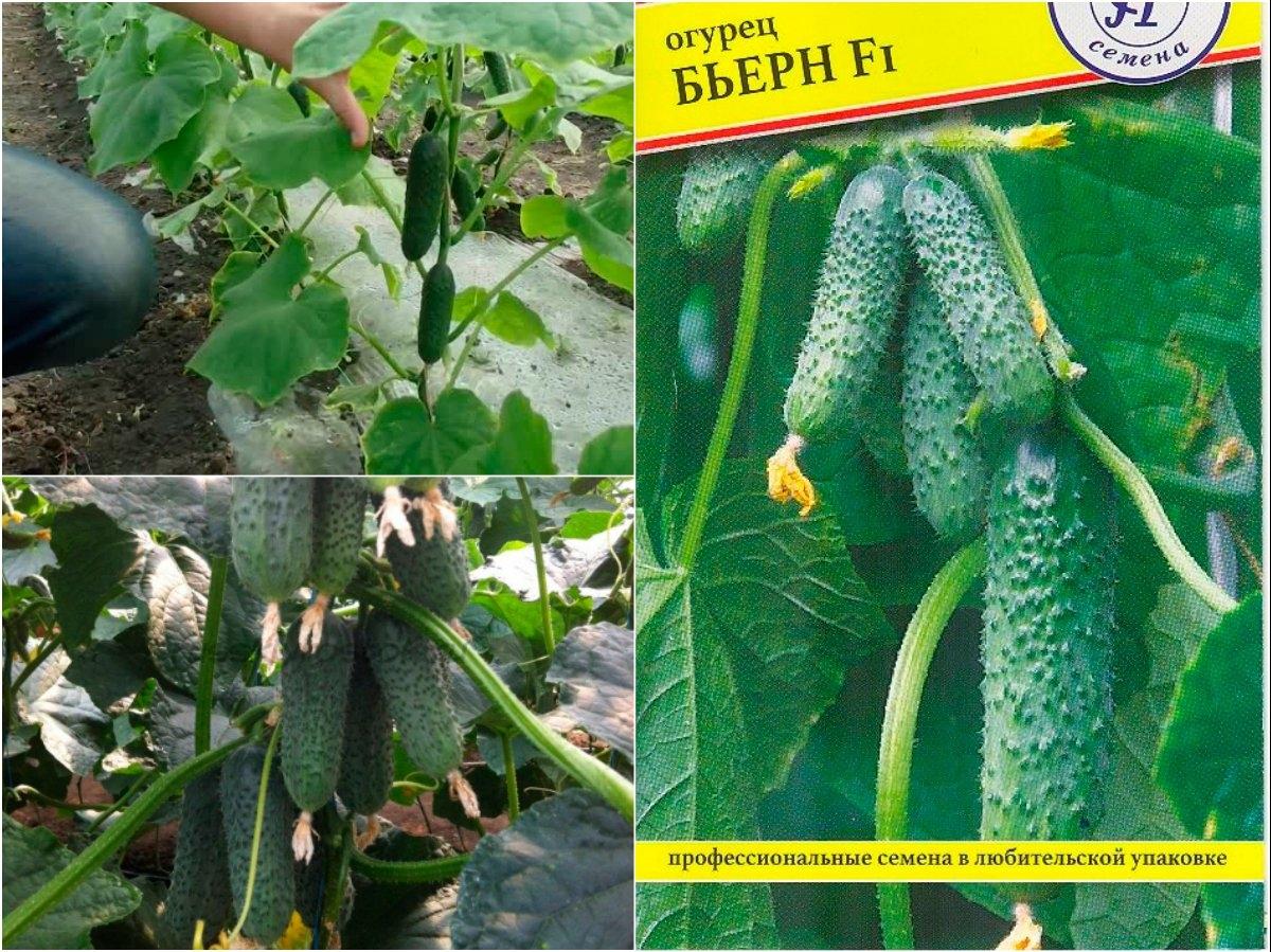 Огурец бьерн f1: описание и отзывы о сорте, фотографии, урожайность, посадка и выращивание, уход