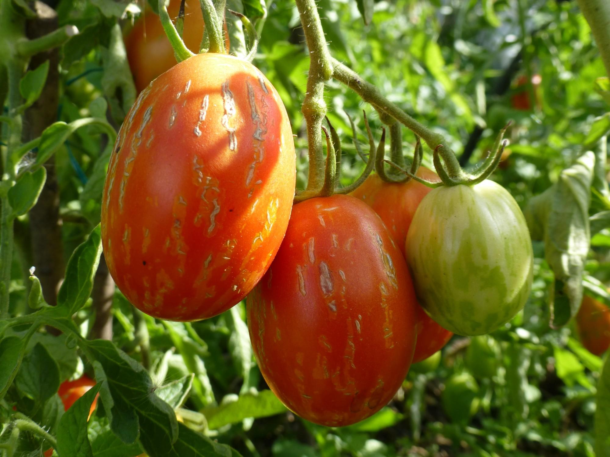 Томат пасхальное яйцо: описание, особенности выращивания, фото - о цветах