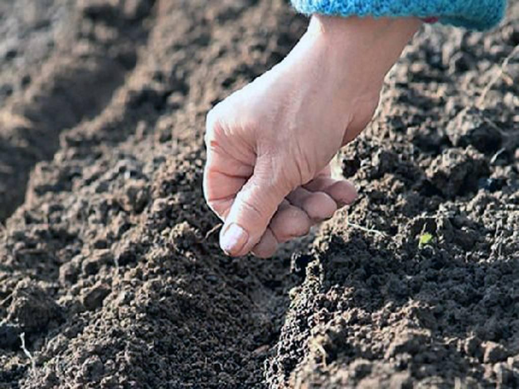 Выращивание пастернака на даче: посадка на рассаду и уход в открытом грунте