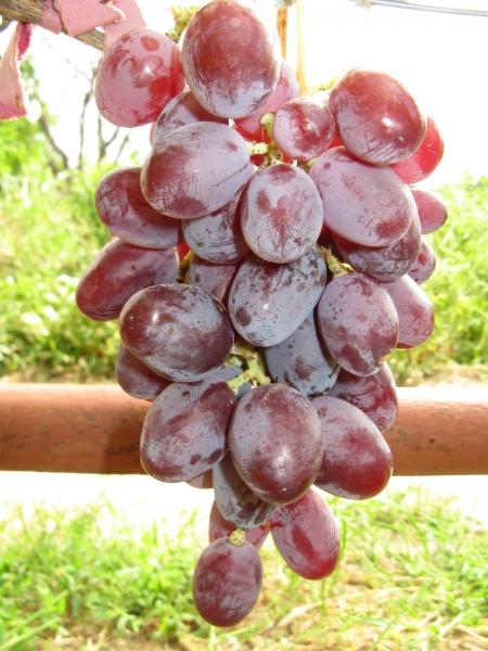 Виноград юбилейный: что нужно знать о нем, описание сорта, отзывы