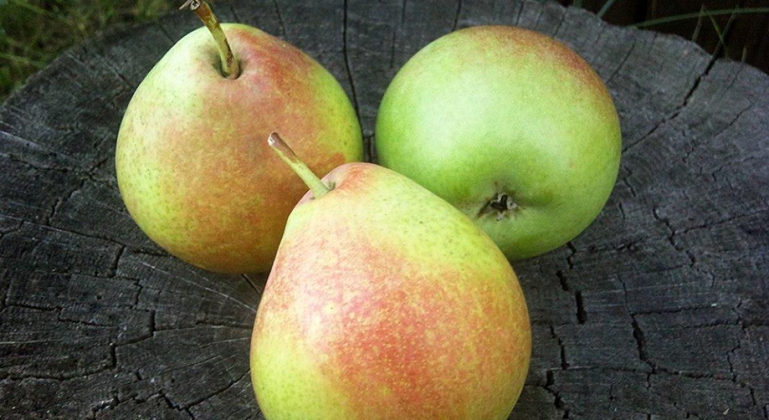 Груша мраморная — красивая, вкусная и устойчивая к болезням!