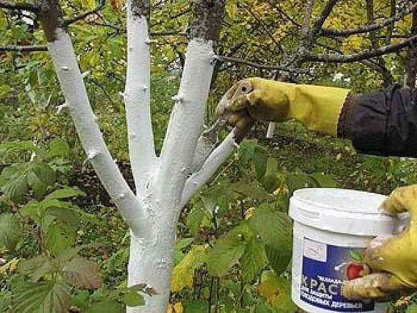 Побелка деревьев осенью: состав смеси, когда белить