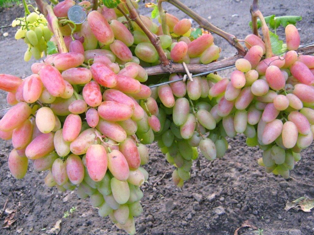 Виноград преображение: описание сорта, фото, видео, отзывы
