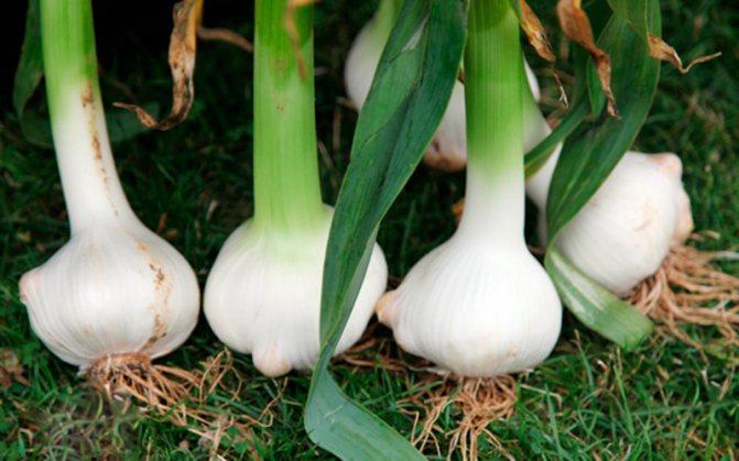 Чеснок рокамболь: описание сорта, выращивание, польза и вред