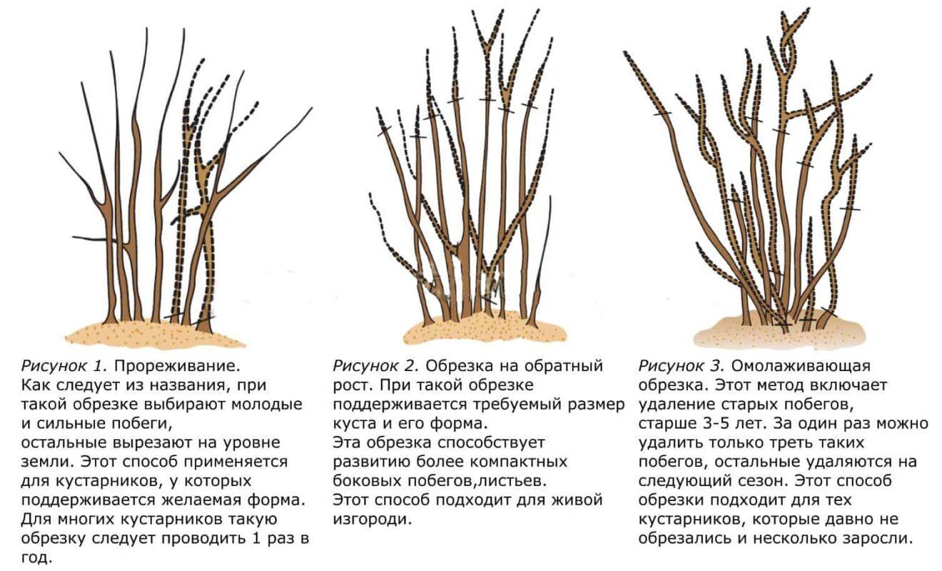 Омоложение смородины черной весной: когда и как правильно его делать