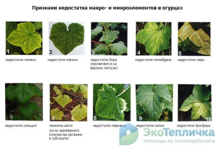 Что делать, если у болгарского перца желтеют или опадают листья