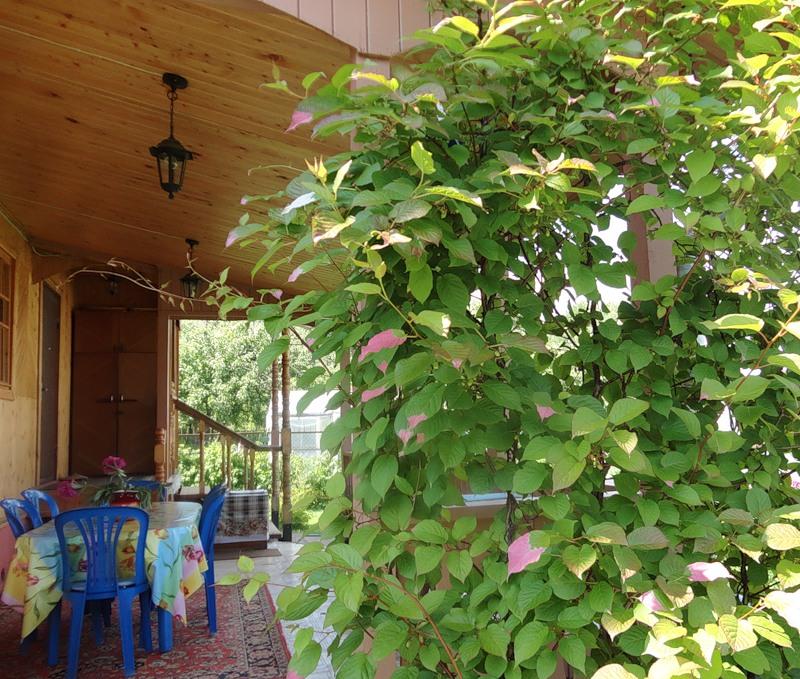 Выращивание актинидии коломикты: посадка и уход в открытом грунте, размножение и подготовка к зиме