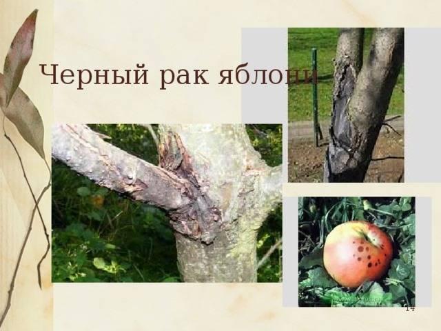 Черный рак яблони: фото, описание, лечение, меры борьбы