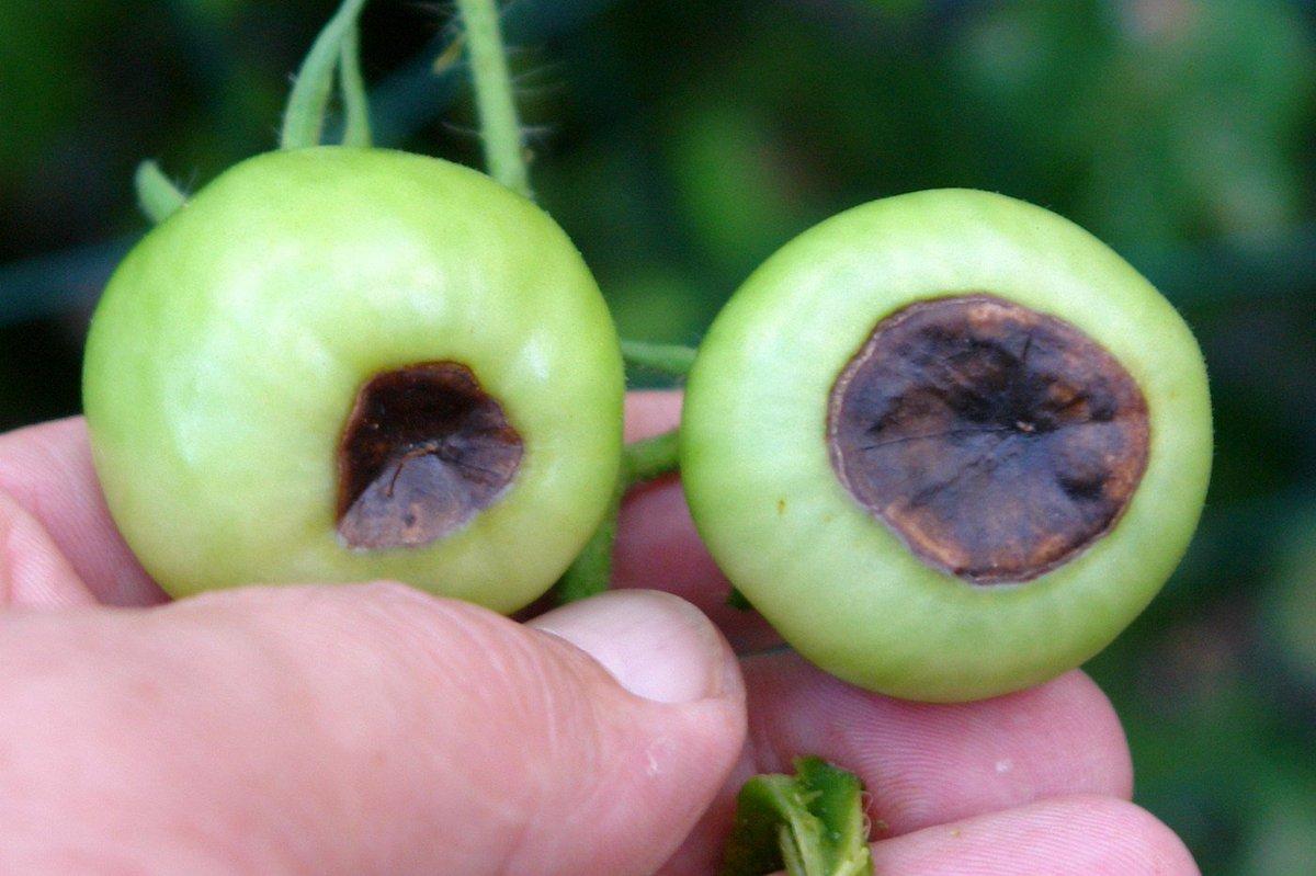 Причины появления и способы борьбы с вершинной гнили на помидорах в теплице