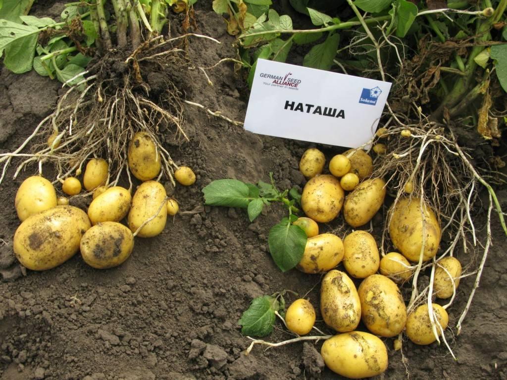 Сорт картофеля луговской: характеристика, описание с фото, отзывы