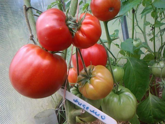 Томат фиделио - описание сорта, характеристика, урожайность, отзывы, фото
