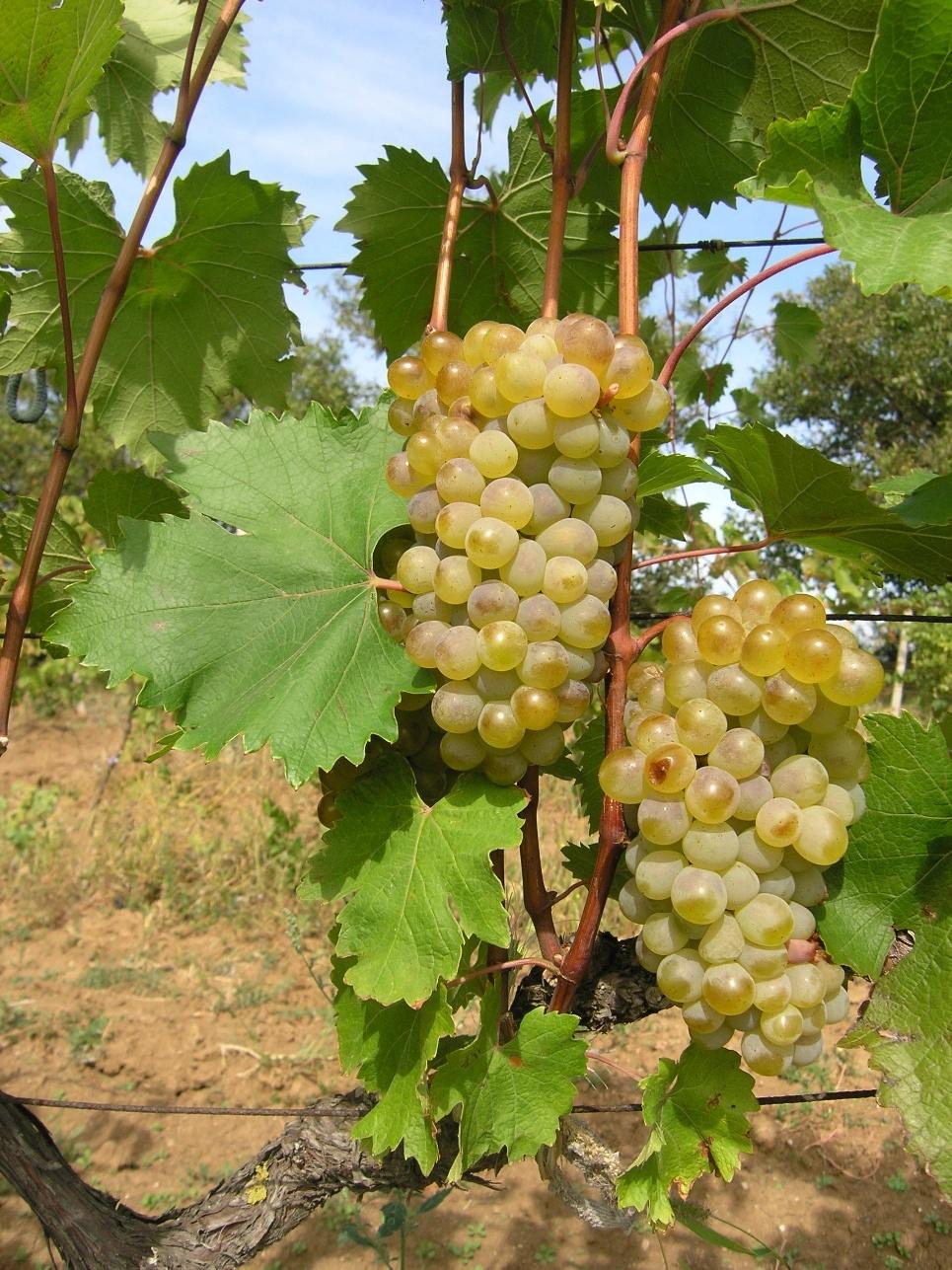 Сорт винограда «ркацители»: особенности ухода, полезные свойства, фото