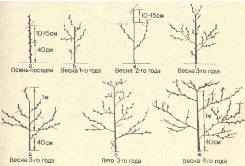 Черешня на урале: посадка и уход, выбор лучших сортов, правила выращивания