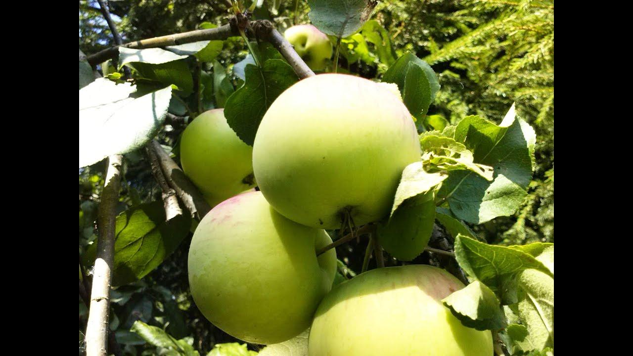 Чтобы яблоня плодоносила каждый год | сайт о саде, даче и комнатных растениях.