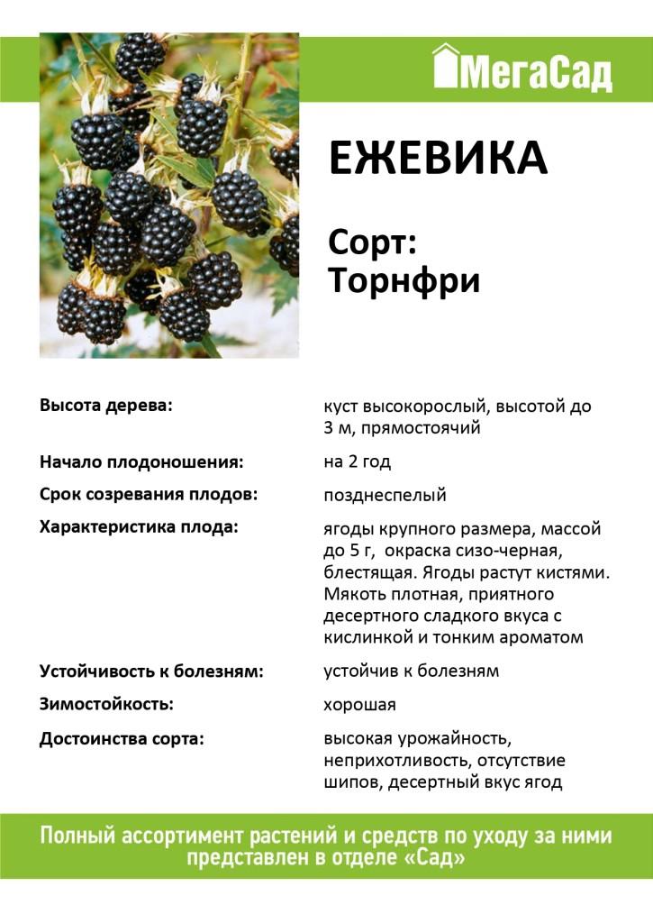 Ежевика торнфри: описание и тонкости выращивания
