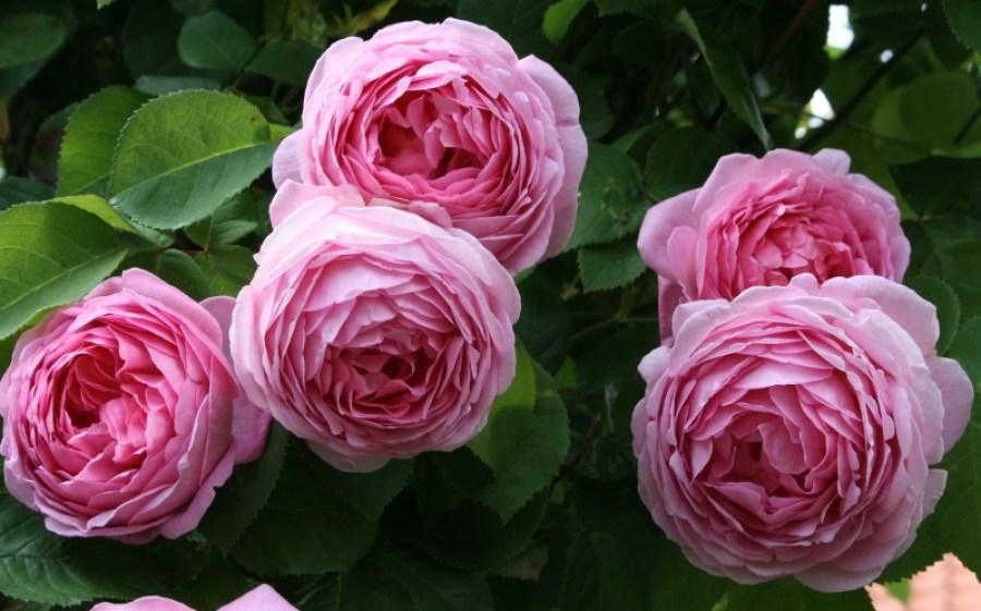 Пионовидные розы: обзор сортов и особенности выращивания