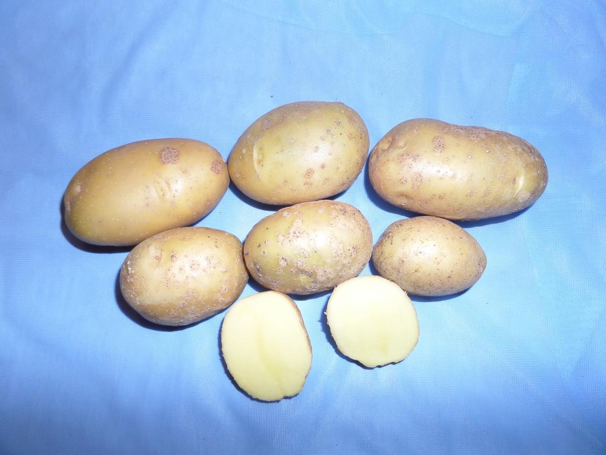 Картофель уладар: описание сорта и характеристики, правила посадки и ухода с фото