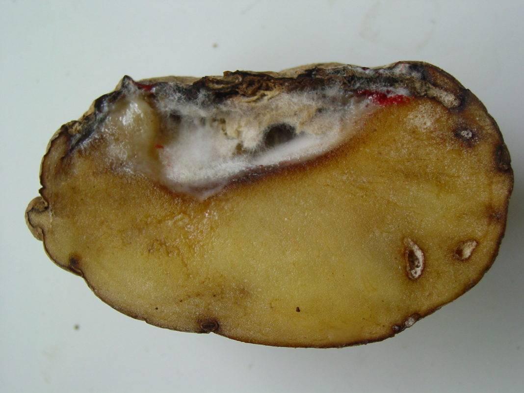 Как лечить картофель от фузариоза, описание заболевания и профилактика
