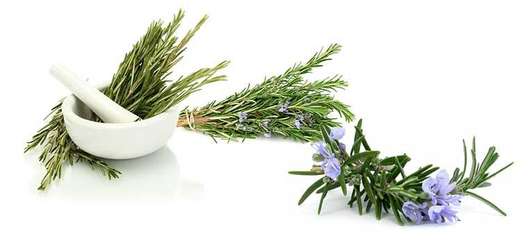 Розмарин: лечебные свойства и противопоказания, применение эфирного масла | азбука здоровья