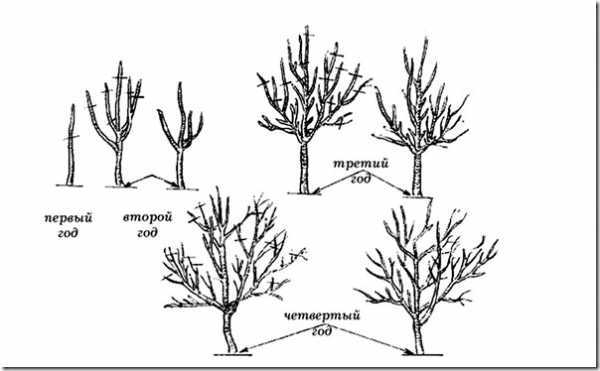 Колоновидная яблоня: посадка и уход, обрезка и размножение, описание сортов и фотографии