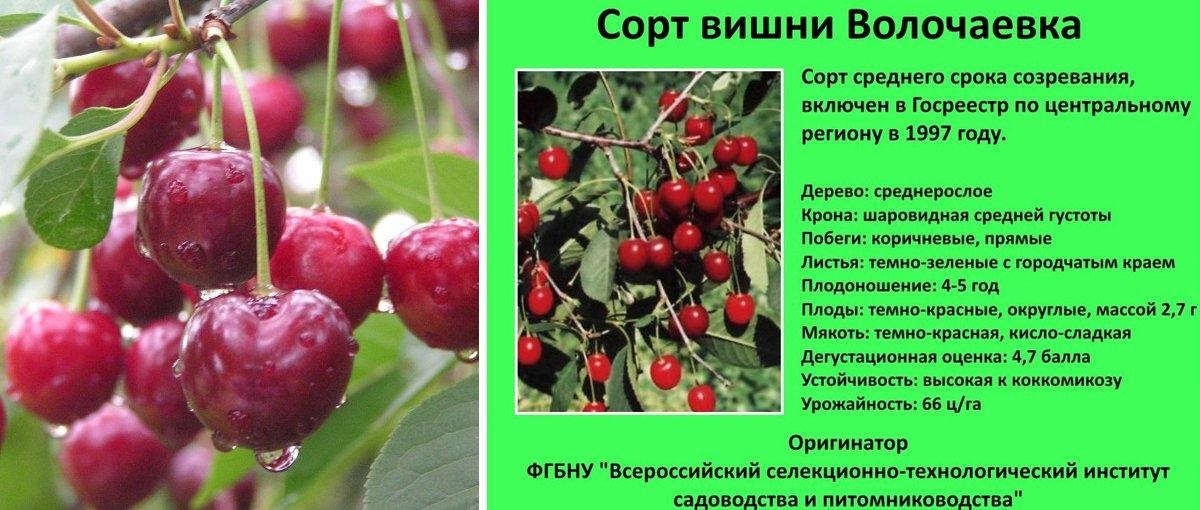 Описание вишни сорта морозовка: характеристики, фото, отзывы садоводов, видео