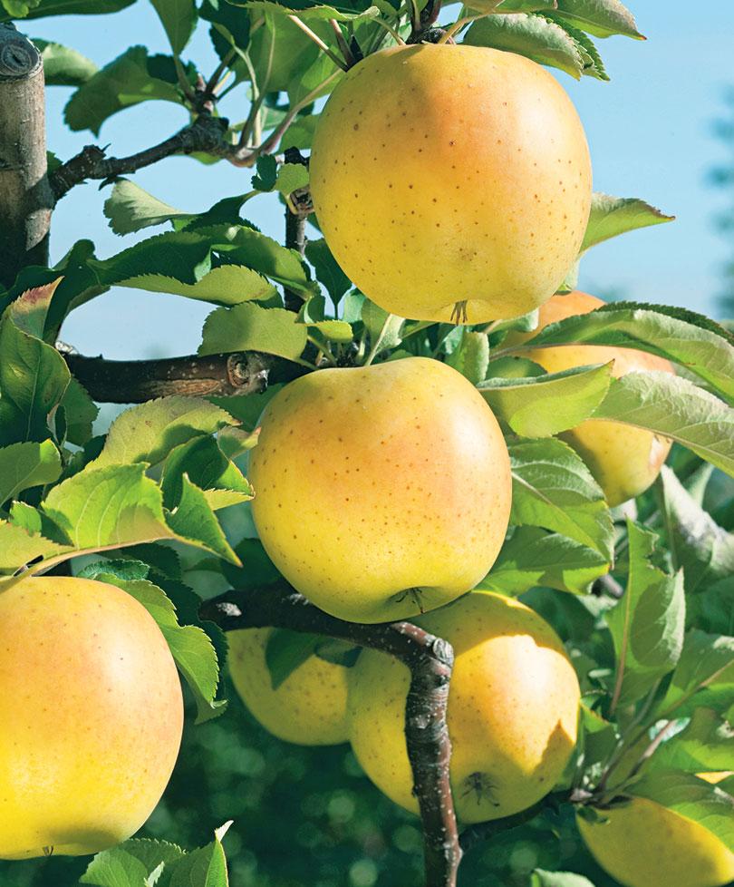 О яблоне колоновидной останкино: описание и характеристики сорта, посадка и уход