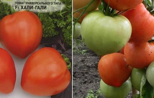 Как вырастить томат хали-гали