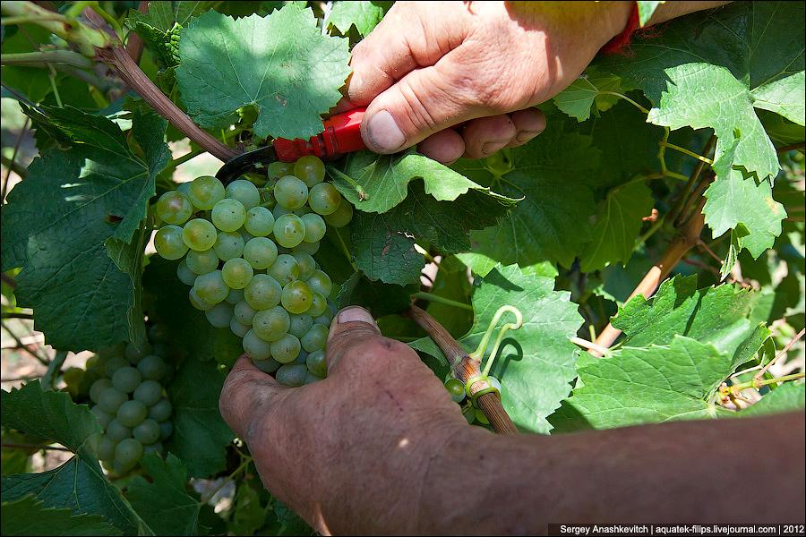 Агротехника винограда