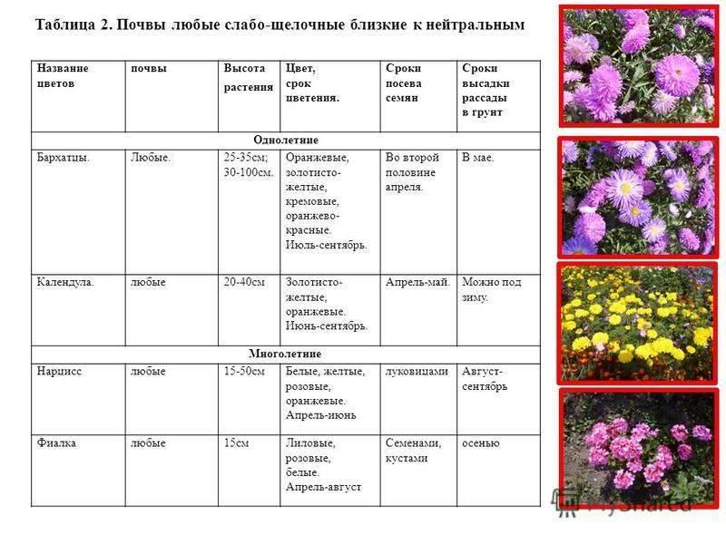 """Астры: лучшие сорта, выращивание и размножение - проект """"цветочки"""" - для цветоводов начинающих и профессионалов"""