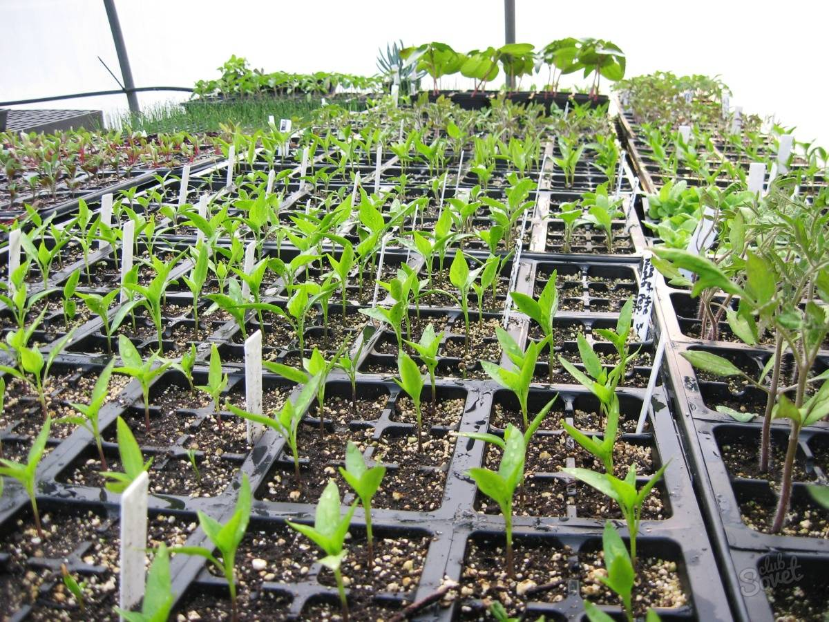 Посадка спаржевой фасоли в 2020 году: сроки, выращивание и уход