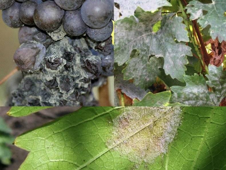 Как определить и как вылечить виноград от мучнистой росы или оидиума на supersadovnik.ru