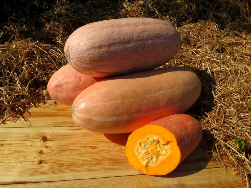 Тыква розовый банан (пинк джамбо банана): описание сладкого сорта овощей со вкусом фрукта, отзывы тех, кто его выращивал