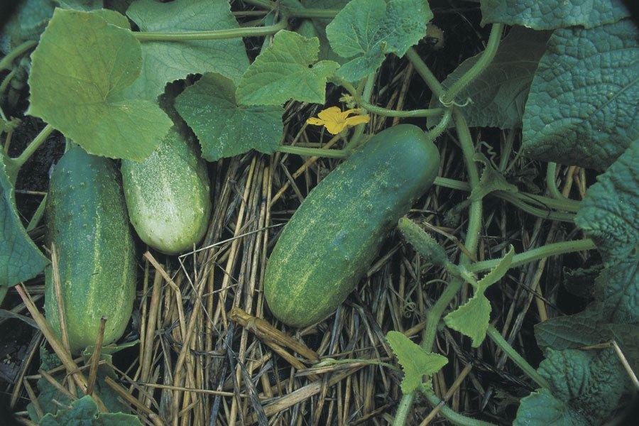 Какой сорт огурцов выращивают в луховицах