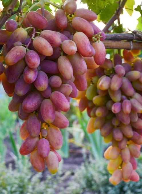 Описание винограда «преображение» — характеристика, особенности выращивания, фото и отзывы о сорте
