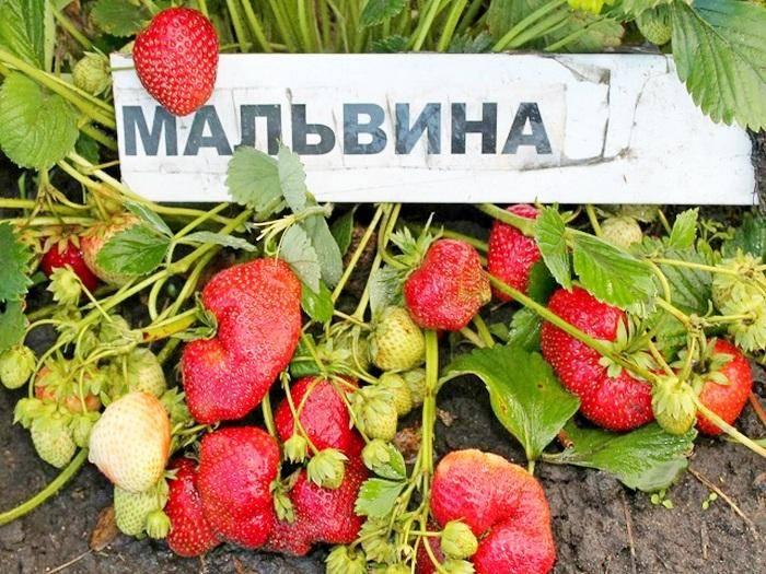 Клубника пандора — описание сорта, фото и отзывы садоводов