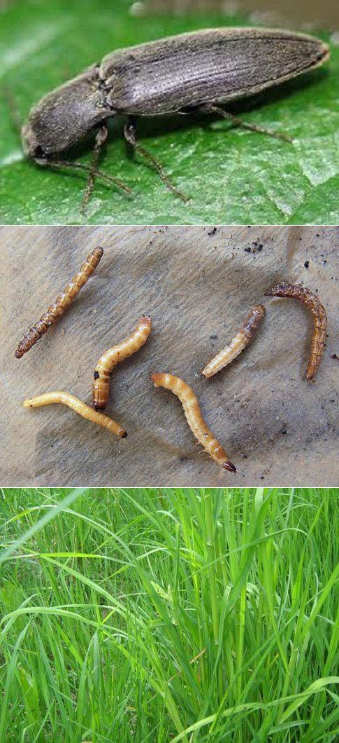 Как избавиться от проволочника в огороде навсегда: народные средства