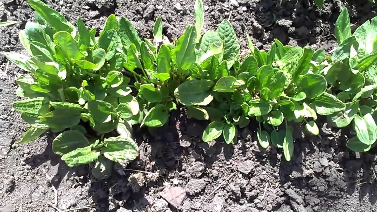 Как правильно выращивать щавель в открытом грунте - сад и огород