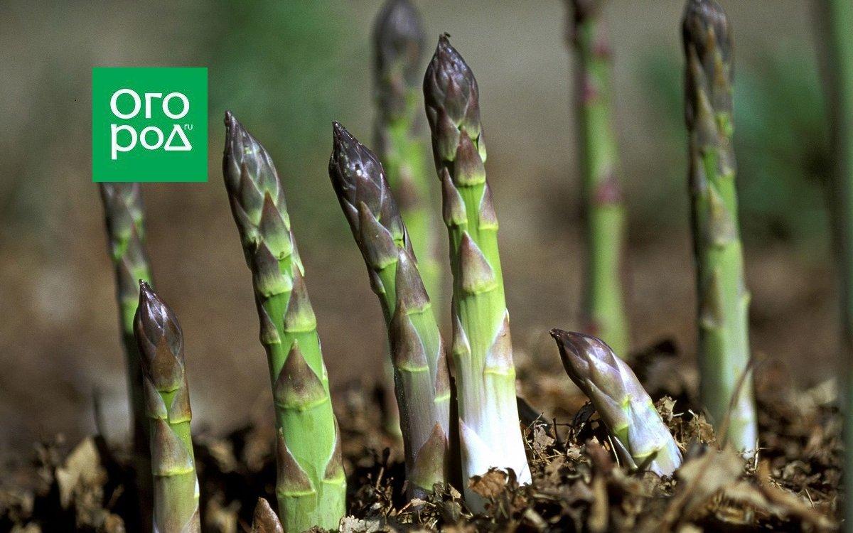 Где и как растет спаржа на огороде и как выглядит белая? фото