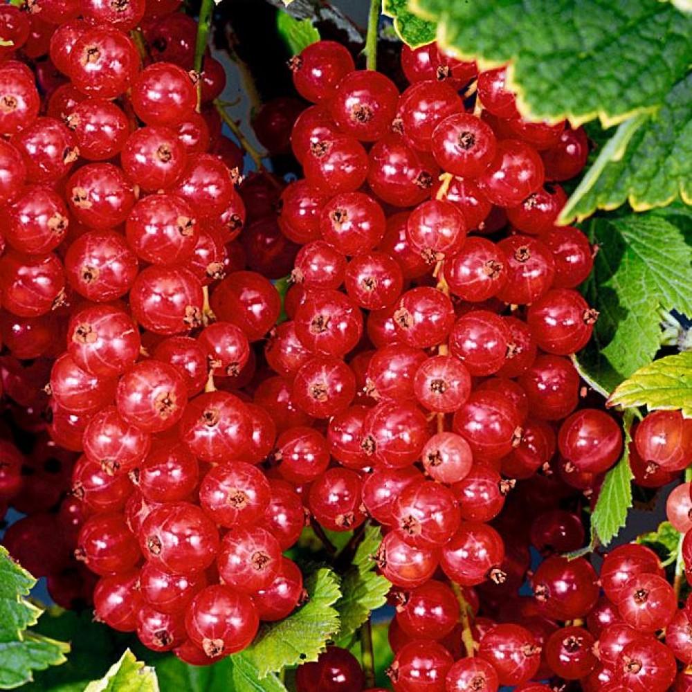 Характеристики и описание красной смородины сорта Джонкер Ван Тетс