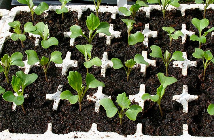 Как вырастить колеус из семян?
