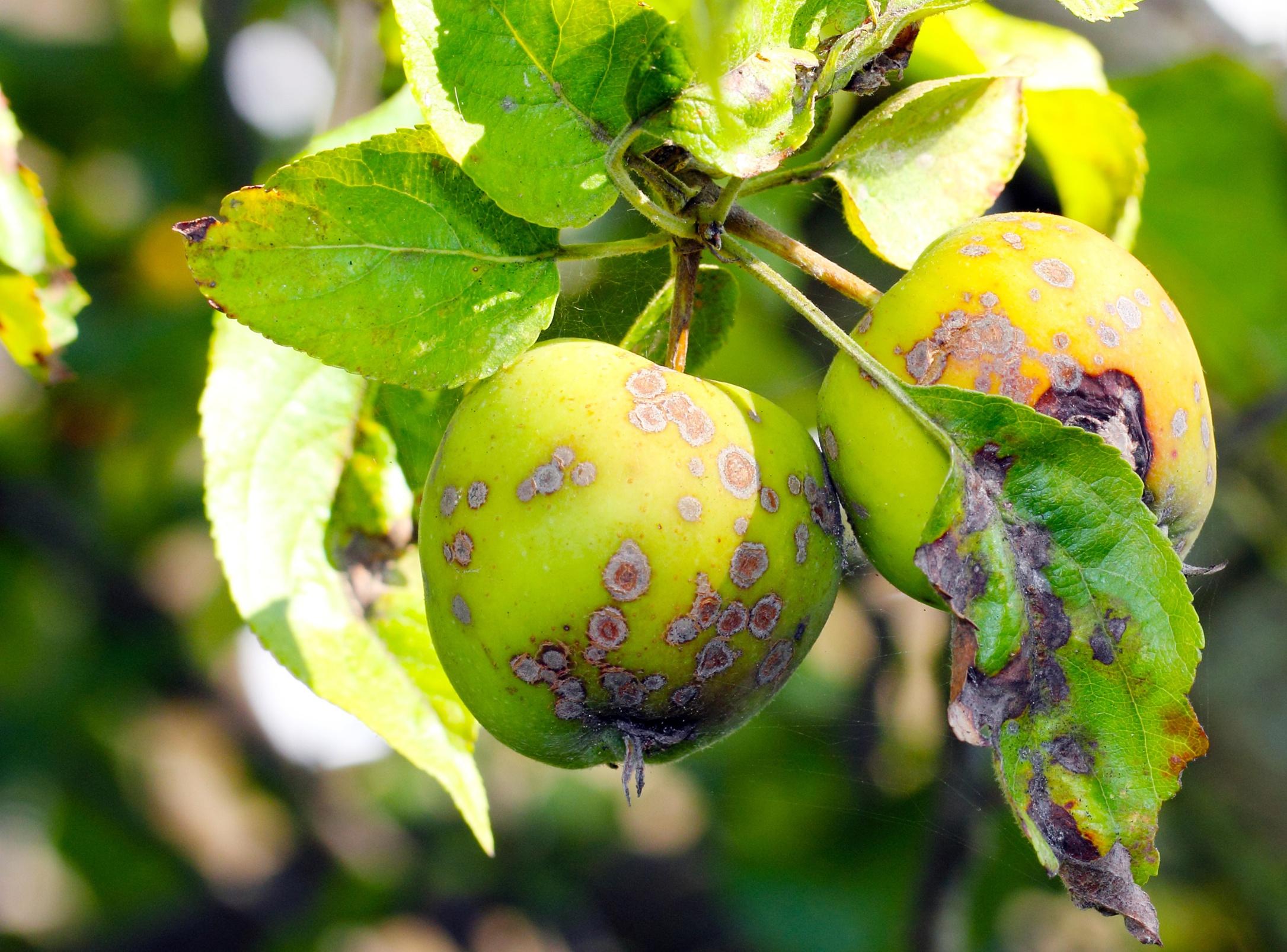 Яблонная медяница