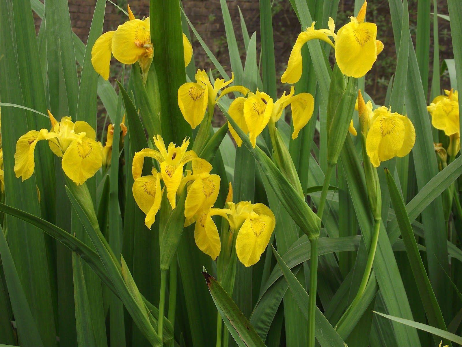 Болотный ирис: посадка и уход, особенности размножения, использования желтого и аировидного ириса